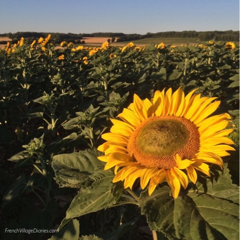 French Village Diaries Yellow July #TDF2017 sunflowers