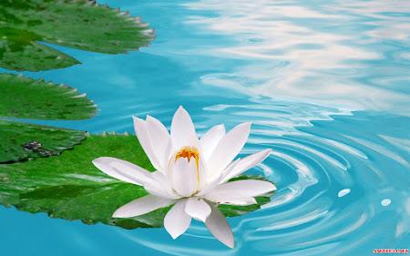 20 hình ảnh hoa sen đẹp – biểu tượng của sự thuần khiết