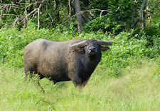 This old bull pauses on the edge of thick bush to take one last glance at us. If you are going to shoot him, the time is right now! On the shoulder where the dried mud is.