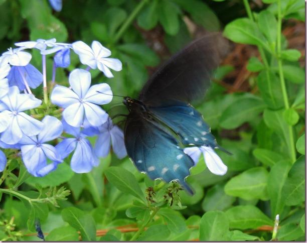butterflyIMG_1822