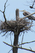 Heron Colony at Libby Hill-019.JPG