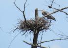 Heron Colony at Libby Hill-019.JPG