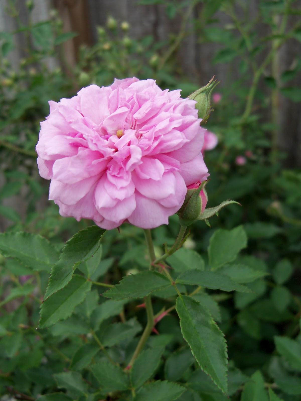 Gardening 2011 - 100_8093.JPG