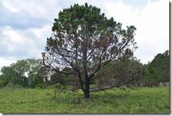 3 color pine