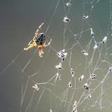 Паук-крестовик (Araneus sp.)