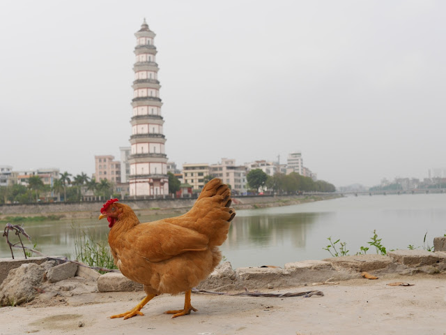 untethered chicken walking in Gaozhou