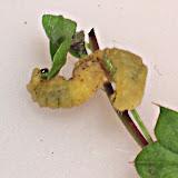 Figure 6 - Larval cannibalism