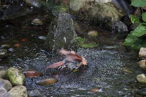 Bathing female cardinal