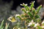 Kanarisk kålsommerfugl, Pieris cheiranthi4.jpg