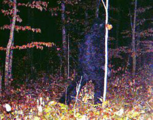 Bigfoot Caught On Trap Camera In Minnesota Maybe