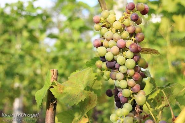 Zwiedzamy winnicę w Miradowie na Kociewiu