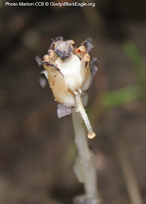 The fruit of Indian pipe is a vase-shaped, five-celled seed capsule holding many small seeds.