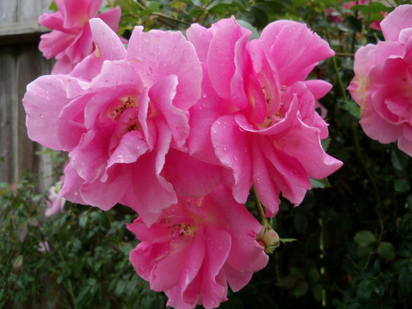 Gardening 2012 - 115_1352.JPG