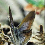 OrachrysopsNiobe