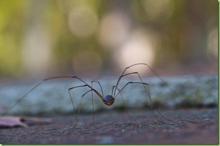 thin spider