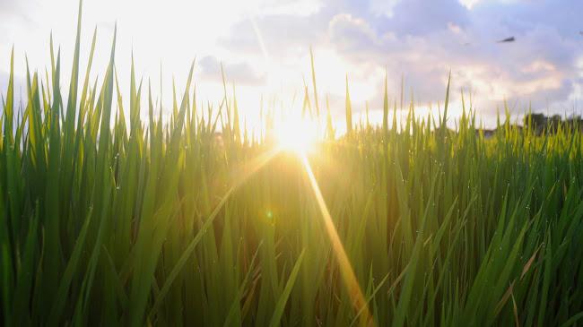 Nhờ lúa tốt ngăn chặn cỏ lùng