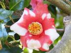 濃紅色地 白斑入り 一重 ラッパ〜平開咲き 筒しべ 中〜大輪