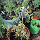 Gardening 2010, Part Two - 101_2263.JPG