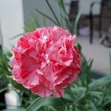 Gardening 2012 - 115_1594.JPG