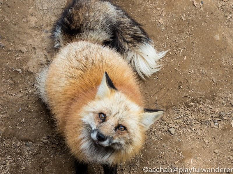 foxvil (35 - 70).jpg