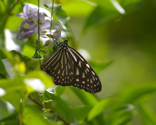 Ideopsis vulgaris interposita FRUHSTORFER, 1910. Pulau Manukan (Sabah), 20 août 2011. Photo : J.-M. Gayman
