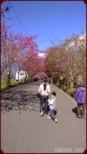草坪頭玉山觀光茶園-賞櫻步道