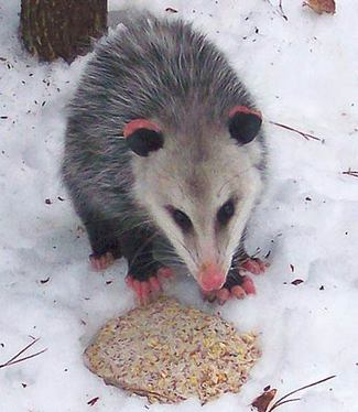 Virginia Opossum in Ennismore, ON