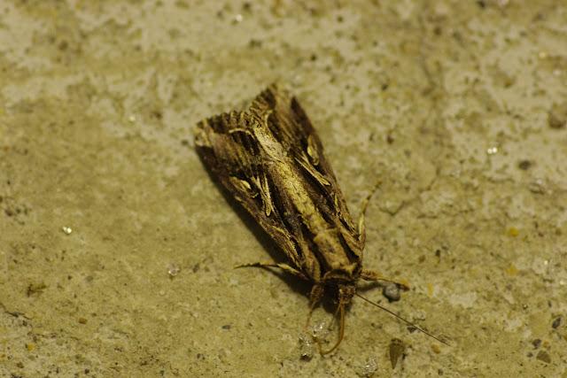 Erebidae, Amphipyrinae : Spodoptera dolichos (Fabricius, 1794). Fundo Palmarito, 265 m (Yopal, Casanare, Colombie), 7 novembre 2015. Photo : J.-M. Gayman