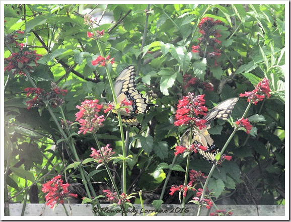 10-27-giant-swallowtail