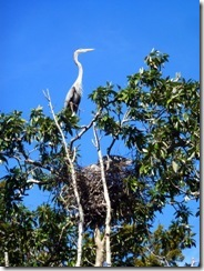 Wild herons making a nest