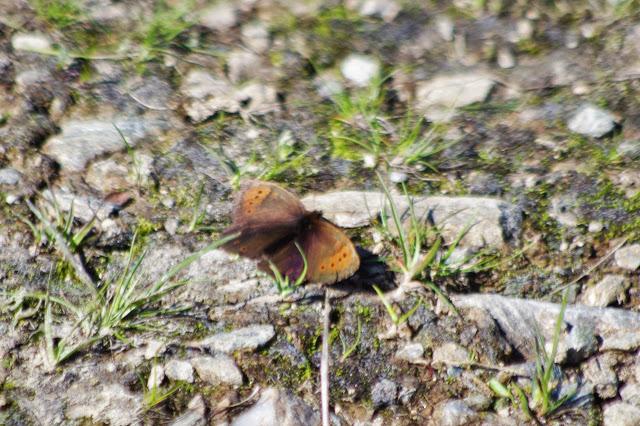 Erebia pandrose (BORKHAUSEN, 1788). Furtschellas, Sils Maria, 2200 m (Grisons, CH), 11 juillet 2013. Photo : J.-M. Gayman