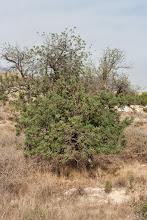 Photo: Flora guaret: Garrofer (Ceratonia siliqua).