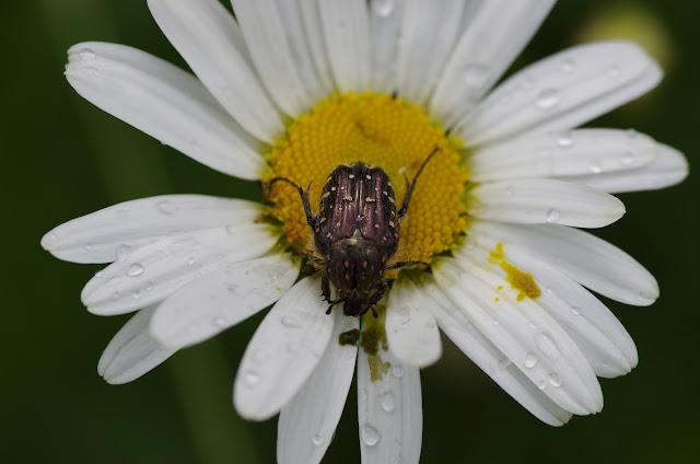 Cetoniidae : Oxythyrea funesta PODA, 1761. Les Hautes-Lisières (Rouvres, 28), 20 mai 2012. Photo : J.-M. Gayman