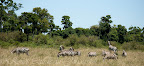 Zebras look out after a leopard