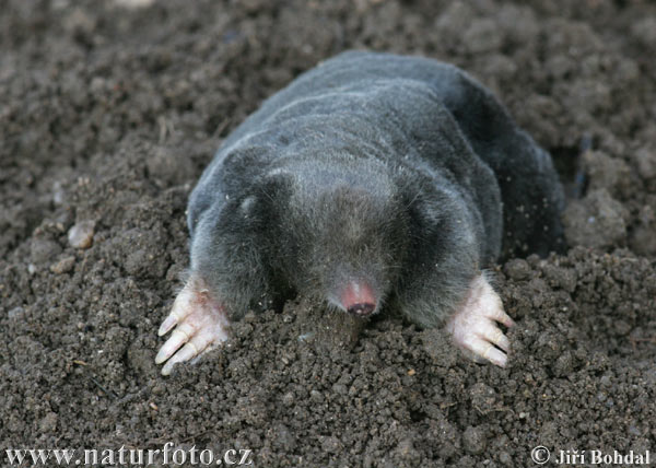 Above Ground Moles http://true-wildlife.blogspot.com/2011/03/mole.html