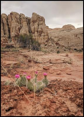 Pink Cacti in bloom  Rim Overlook Trail Capitol Reef