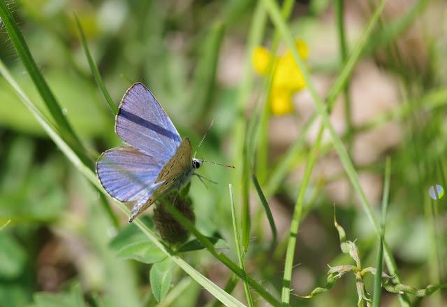 Polyommatus icarus (Rottemburg, 1775), ♂. Les Hautes-Courennes, Saint-Martin-de-Castillon (Vaucluse), 15 juin 2015. Photo : J.-M. Gayman