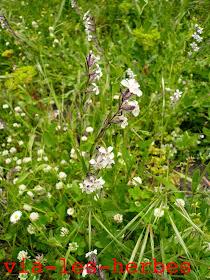 Silene de France Caryophyllacees.jpg