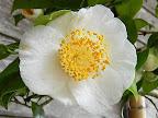 淡桃色 一重 平開咲き 花糸は黄白色 梅芯 中〜大輪