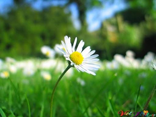 Hoa cúc dại giúp loại bỏ chất độc và tăng sức đề kháng cho cơ thể