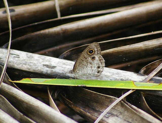 Ypthima pandocus sertorius FRUHSTORFER, 1911. Pulau Mantanani, 28 juillet 2011. Photo : J.-M. Gayman