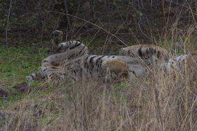 Tigre estirándose