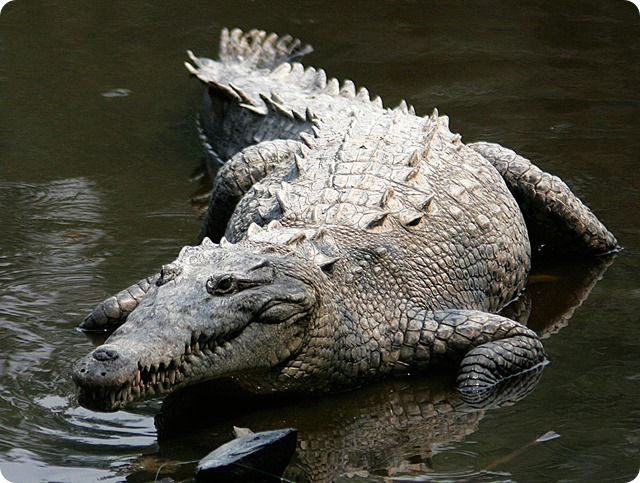 Crocodylus_acutus_mexico