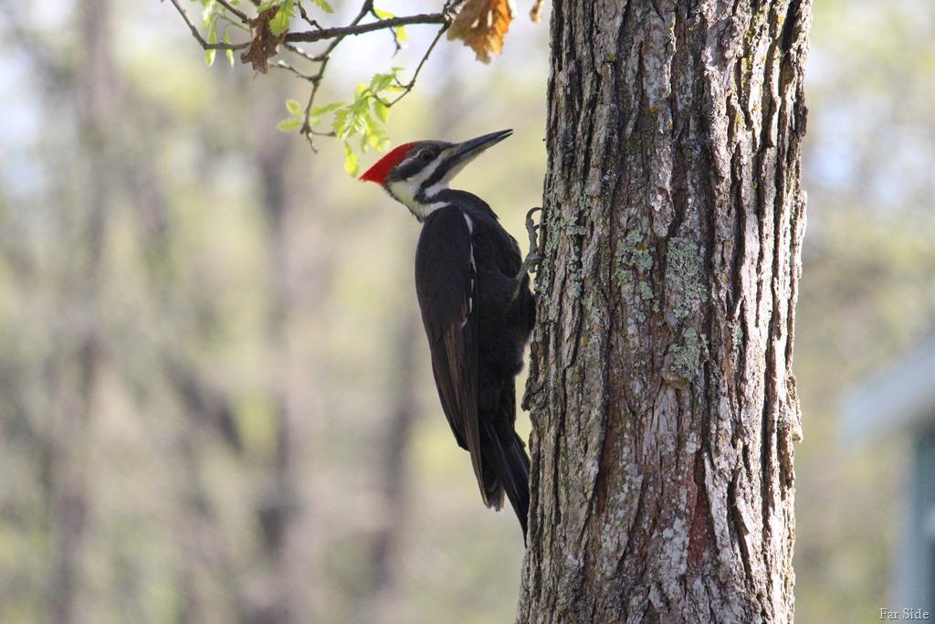 [Pileated+Woodpecker%5B8%5D]