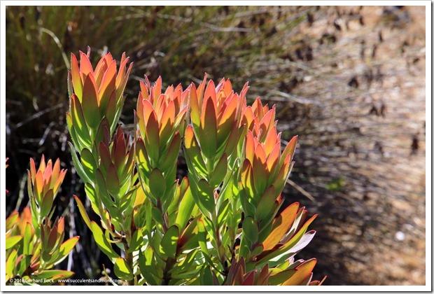 160813_UCSC_Arboretum_Leucadendron-sessile