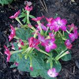 Gardening 2011 - 100_7705.JPG