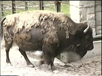 1995.06.16-024 bison