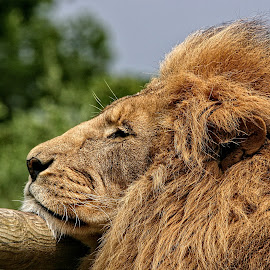 PWP lion 02 by Michael Moore - Animals Lions, Tigers & Big Cats (  )
