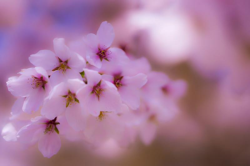 富士ビューホテル 桜 写真2
