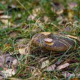 Груздь чёрный (Lactarius necator)